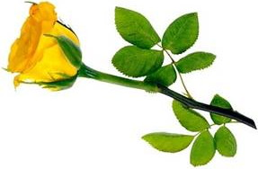 yellow rose side